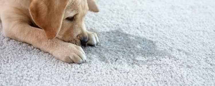 Remove Urine Stain From The Carpet Services